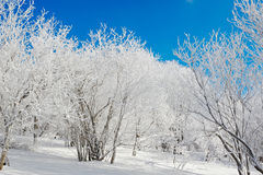 Rime forest and blue sky Royalty Free Stock Images