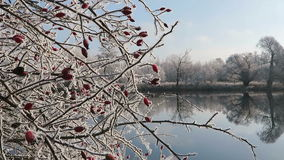 Rime frost landscape at Havel river Havelland, Brandenburg - Germany. With rose-hips. Morning hours stock video footage
