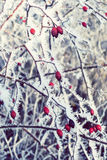 Rime frost on rose hips stock images
