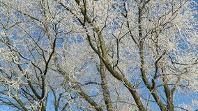 Rime frost on tree tops of willow trees in winter against blue sky. stock video footage