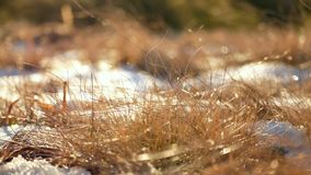 Rime plants ice snow. Rime first frost plants in ice crystals stock video