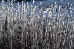 Rime on reeds. Royalty Free Stock Image