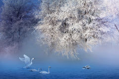 Rime And Swans Royalty Free Stock Image