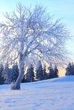 rime zakrywający drzewo Obraz Royalty Free