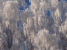 The rimed birches Stock Photos