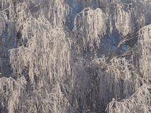 The rimed birches Royalty Free Stock Photo