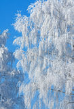 Rimed branches of tree. Snow covered rimed branches of tree Royalty Free Stock Photo