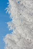 Rimed branches of tree. Snow covered rimed branches of tree Royalty Free Stock Images