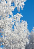 Rimed branches of trees. Snow covered rimed branches of trees Royalty Free Stock Images