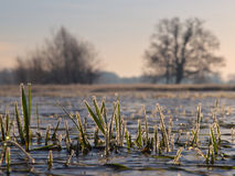 Rimed grass Royalty Free Stock Image