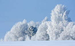 Rimed trees. Snow covered rimed trees in forest Royalty Free Stock Images