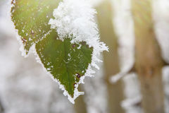 Rimed Wild rose leaves covered with snow and ice Royalty Free Stock Image