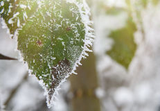 Rimed Wild rose leaves covered with snow and ice Royalty Free Stock Photography
