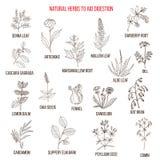 Rimedi di erbe a digestione dell'aiuto illustrazione vettoriale