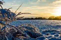 Rimfrost på en buske i den baltiska vintern på solnedgången royaltyfri fotografi