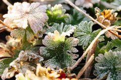 Rimfrost på gröna sidor, bakgrund royaltyfria foton
