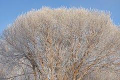 Rimfrost på kronan av almen Arkivfoton