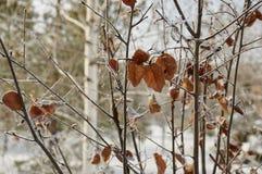 Rimfrost på leaves arkivbilder