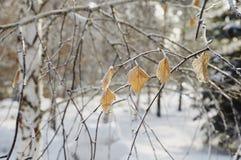 Rimfrost på leaves arkivfoto