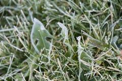 Rimfrost på maskrossidor arkivfoto