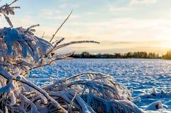 Rimfrost på riset av en växt i den baltiska vintern arkivbilder