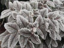 Rimfrost på trädbladet Arkivbild