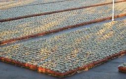 Rimfrost på unga sängkläderväxter Royaltyfri Fotografi