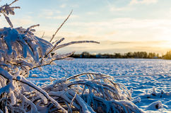 Rimi sui ramoscelli di una pianta nell'inverno baltico Immagini Stock