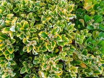 Rimini - grüne Hecke von immergrünen Büschen lizenzfreies stockfoto
