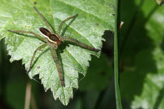Free Rimmed Hunting Spider - Dolomedes Fimbriatus Stock Photography - 26046672