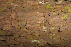 Rimu tree bark Stock Photo