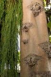 Rimu tree bark texture Stock Photography