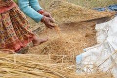 Rimuovendo riso dal pokhara della pianta di riso, il Nepal Fotografia Stock Libera da Diritti