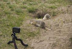 Rimuoviamo il gopher su una videocamera fotografie stock