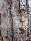 Rind, cork, crust, incrustation. Bark pine wood brown, background view of the forest Stock Photography