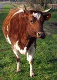 Rind-Kuh lizenzfreie stockfotografie