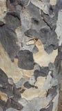 Rindenbeschaffenheit Caesalpinia granadillo Lizenzfreie Stockfotografie
