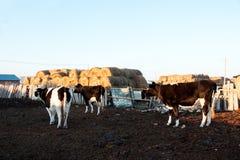Rinder aus der Schleife heraus Lizenzfreie Stockfotos