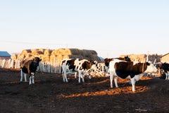 Rinder aus der Schleife heraus Stockfotos