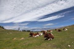 Rinder am Dobratsch, Kärnten Stock Images