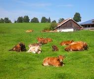 Rinderfarm im Bayern Stockfoto