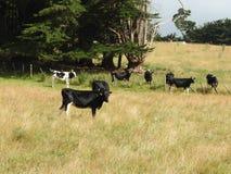 Rinderfarm, Tasmanien Stockfotos