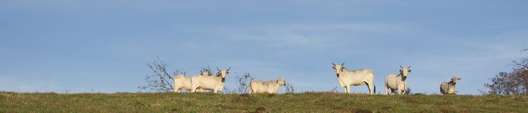 Rinderherde auf dem Bauernhof Stockfotos