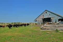 Rindfleisch-Herde auf dem Grasland lizenzfreie stockfotos