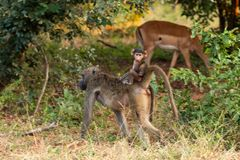 rinding它的妈妈的后面的小狒狒 免版税库存照片