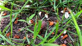 Rinforzo del giardino su erba verde stock footage
