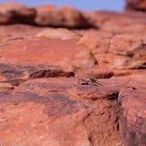 Ring-angebundene Dracheeidechse auf dem Felsen in West-Australien lizenzfreie stockfotografie