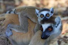 Ring angebundene Lemurfrau und ihr Schätzchen Stockbild