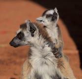 Ring angebundene Lemurs am Berenty Vorbehalt Stockfoto