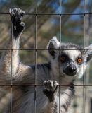 Ring-angebundener Affe oder Maki Catta Lizenzfreies Stockfoto